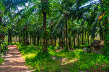 lush branched palm trees on a sunny day on a coconut farm in Thailand