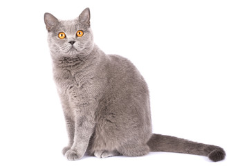 British cat isolated. A cat sits on a white background with place for text. A pet with amber eyes close up. Short-haired pet looks surprised. Very funny cat copy space