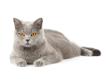 British cat isolated. A cat lies on a white background with place for text. A pet with amber eyes close up copy space. The short-haired pet relaxed.