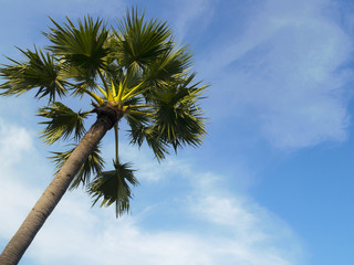 Sugar palm tree over the bright blue sky for background