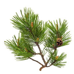 Pine branch with cone isolated on white
