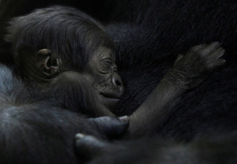 Female gorilla N'yaounda holds her one-day-old baby gorilla at Budapest Zoo