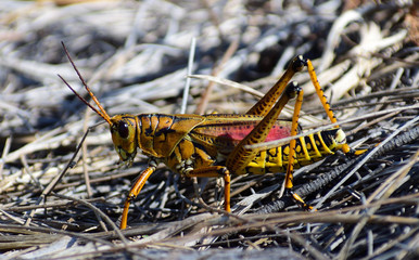 Florida cricket