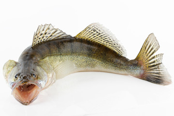 Live zander or pikeperch