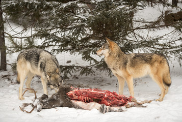 Fototapete - Two Grey Wolves (Canis lupus) at Deer Carcass
