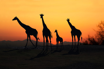 African Giraffes family silhoutted at sunset