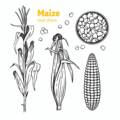 Maize vector hand drawn illustration