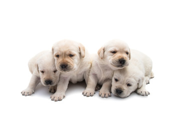 labrador puppies isolated