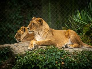 Deux lionnes au repos