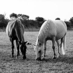 Couple de chevaux broutant au petit matin