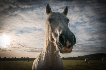 Très gros plan d'un cheval blanc