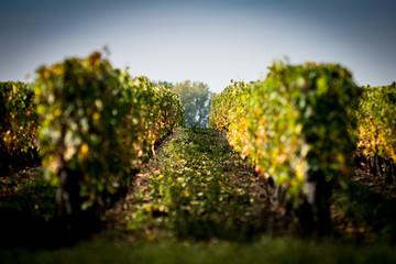 Perspective sur des vignes à l'automne en Anjou