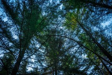 Contre plongée vers la cime des arbres en forêt