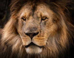 Portrait serré d'un lion