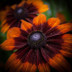 Macro sur une fleur aux tons bordeaux et orange