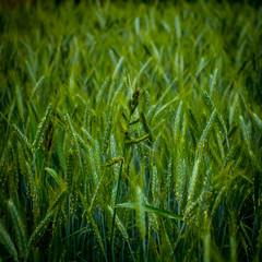 Plan serré sur un champs de blé encore vert