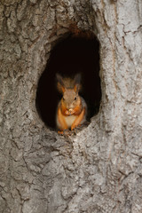Tuinposter Eekhoorn Red squirrel in a hollow on a tree
