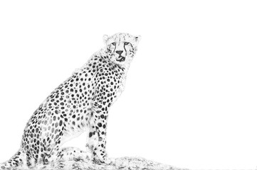 Cheetah. Sketch with pencil