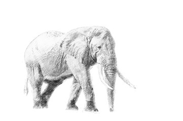 Elephant. Sketch with pencil