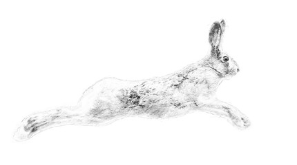 Hare. Sketch with pencil
