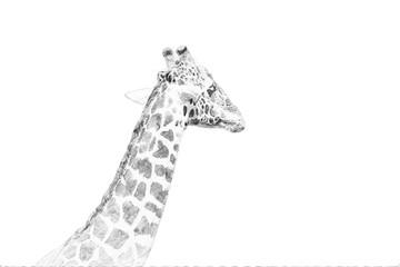 Wall Mural - Giraffe. Sketch with pencil