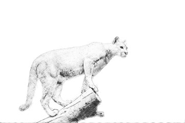 Puma. Sketch with pencil