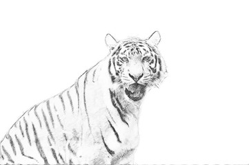 Fototapete - Tiger. Sketch with pencil