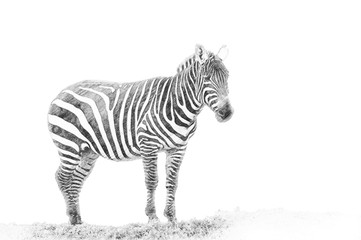 Zebra. Sketch with pencil