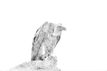 Vulture. Sketch with pencil
