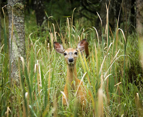 Deer standing in long grass