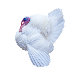 White turkey. Turkey isolated on a white background