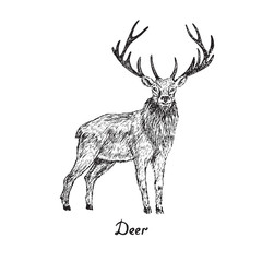 Deer male standing, hand drawn doodle sketch with inscription, isolated vector outline illustration