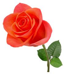 Fresh pink rose flower