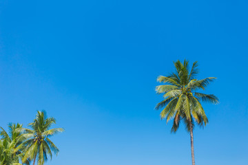 Green coconut palm tree on blue sky background