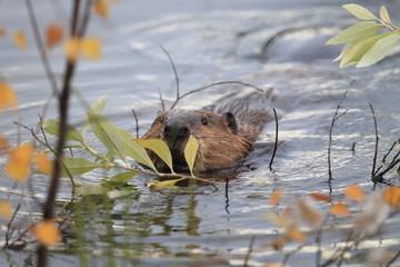 North American Beaver (Castor canadensis) eating, Alaska