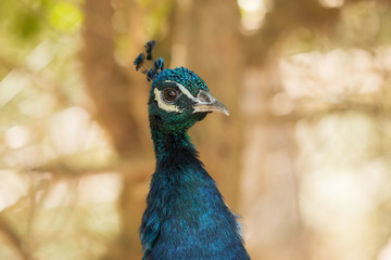 A beautiful peacock with a soft background