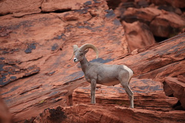 Bighorn sheep Valley of Fire Nevada