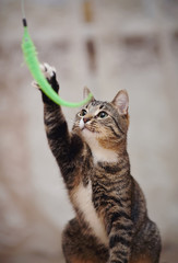 Striped cat plays with a green toy.