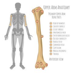 Human upper arm anatomy