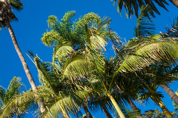 Palm trees under a blue sky in California