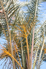 Close up of a date palm tree