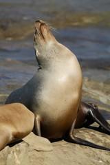 Sea Lion sun bathing on rocks