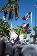 Pigeons in mexico