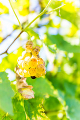 Macro closeup of yellow green grapes hanging on grape vineyard with bright leaves showing detail and texture in autumn