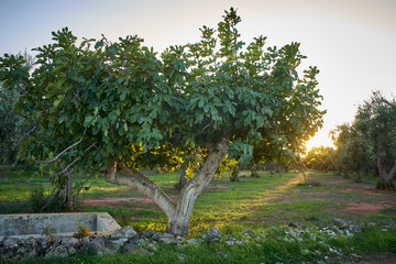 Fig tree in Salento at sunset - Italy