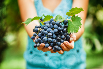 female hands holding a delicious ripe dark blue grapes