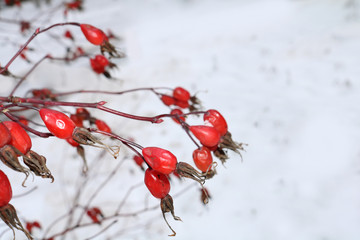 red rose hips on a bush in winter