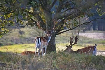 Fallow deer in the wood