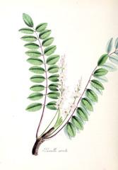 Boswellia serrata.
