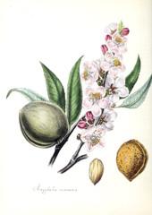 Almond illustration.